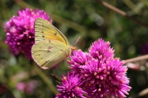 Possibly a clouded sulphur (Colias philodice)